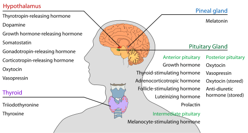 Endocrine System: TEAS || RegisteredNursing.org
