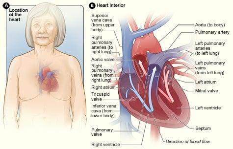 Cardiac System: TEAS || RegisteredNursing.org