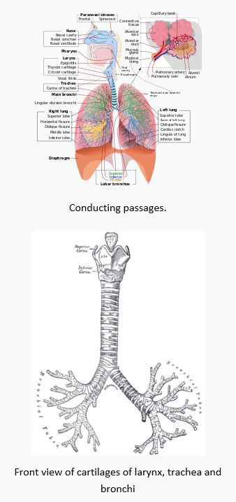 diagram of diffusion the lungs respiratory system: teas || registerednursing.org