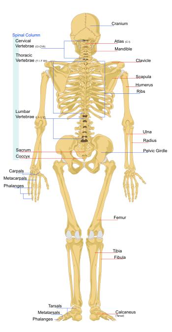 Musculoskeletal System – Skeletal System: TEAS || RegisteredNursing.org